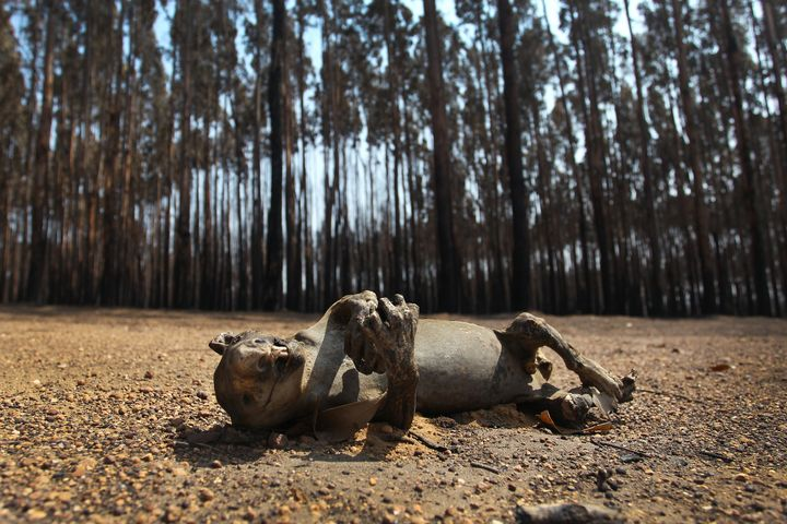 A dead koala is seen among Blue Gum trees in the bushfire-ravaged outskirts of the Parndana region on Jan. 8 on Kangaroo Isla