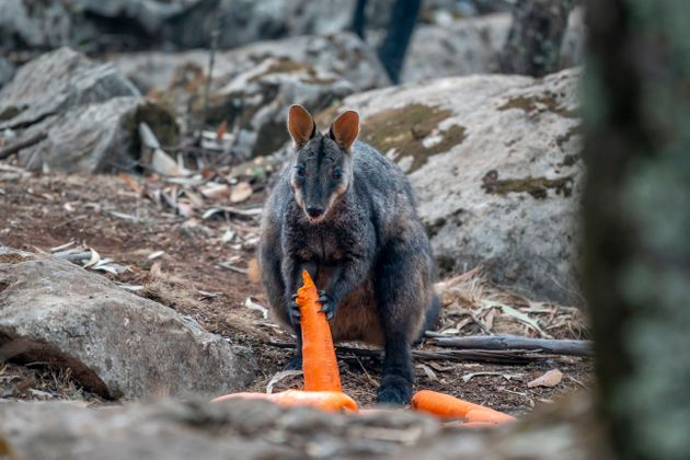 A brush-tailed rock-wallaby enjoys a carrot after thousands of pounds of vegetables were airdropped across...