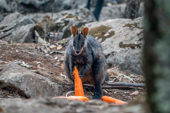 A brush-tailed rock-wallaby enjoys a carrot after thousands of pounds of vegetables were airdropped across New South Wales af