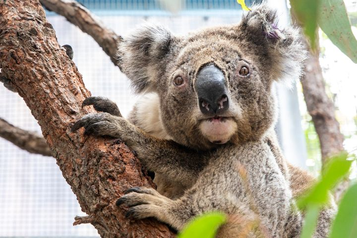 Purkunas the koala at Taronga Zoo's Wildlife Hospital in Sydney. The zoo has received a $1 million boost in the wake of the f