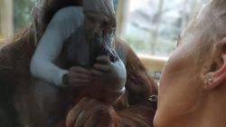 동물원에서 모유 수유를 하던 엄마에게 암컷 오랑우탄이 다가왔다