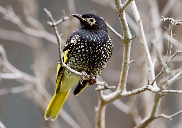 With the population of regent honeyeaters plummeting, Australian officials have turned to captive breeding...