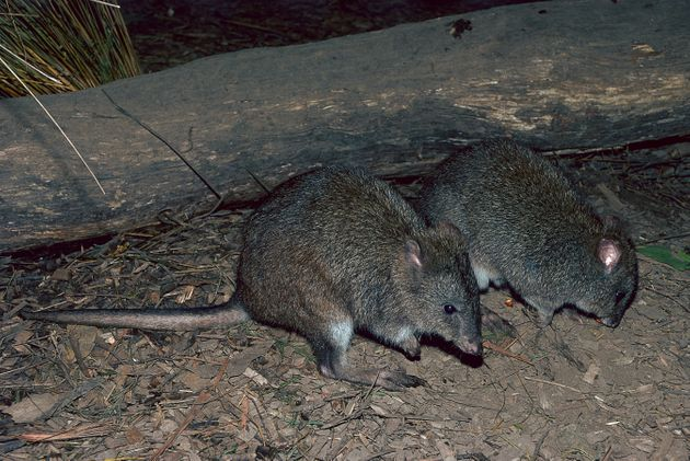 Long-footed potoroos are a forest-dwelling rat-kangaroo found in New South Wales and