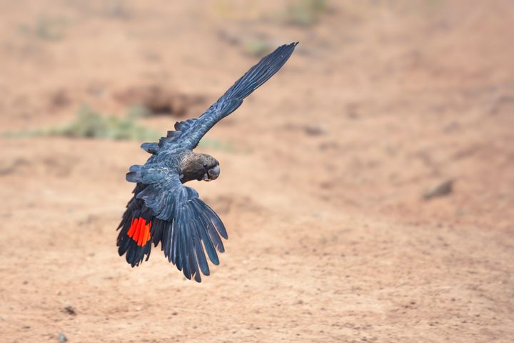 A rare, wild glossy black cockatoo (<i>Calyptorhynchus lathami lathami</i>) in flight in New South Wales.