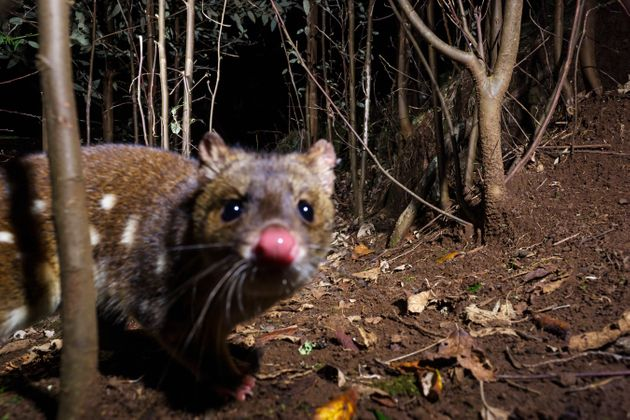 The spotted-tail quoll is endemic to eastern Australia and has suffered substantial decline since European...