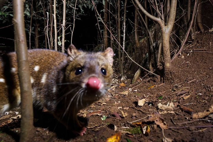 The spotted-tail quoll is endemic to eastern Australia and has suffered substantial decline since European settlement in Aust