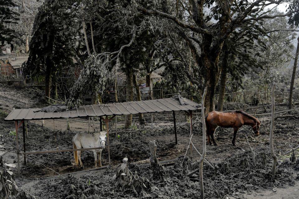 평소 관광객을 태우는 말들이 화산재로 덮인 공원에 남아