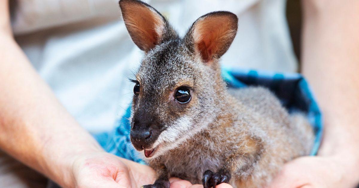 これらの動物はオーストラリアの山火事で最も大きな打撃を受けています