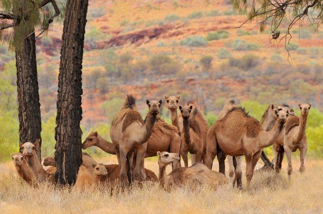 Ελεύθεροι σκοπευτές σκότωσαν τελικά 5.000 καμήλες στην