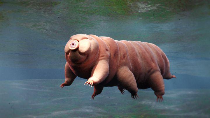 Le tardigrade peut survivre à de longues périodes dans la glace ou subir des doses de rayons X plus de 1000 fois supérieures à l'être humain.