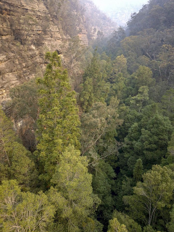 """""""Wollemi National Park is the only place in the world where these trees are found in the wild,"""" Environment Minister Ma"""