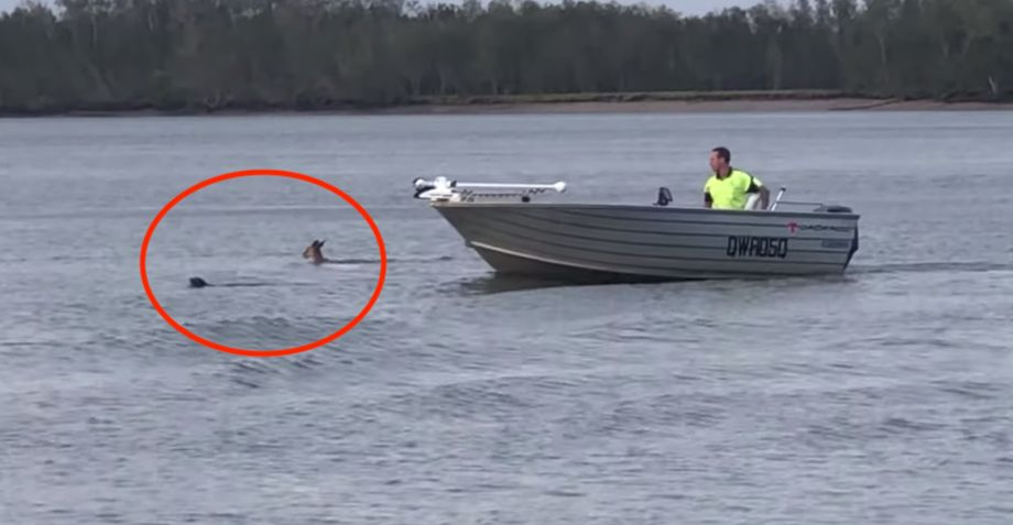 Bystander Stops Kangaroo From Drowning Dog: '...