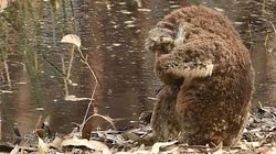Gripping Images Show Mourning Koala Beside Dead Companion In Australia