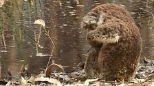 Packende Bilder Zeigen Trauer Koala Neben Toten Kameraden In Australien Feuert
