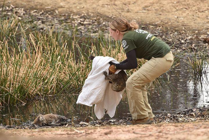 The Humane Society International Crisis Response team rescues the injured koala.