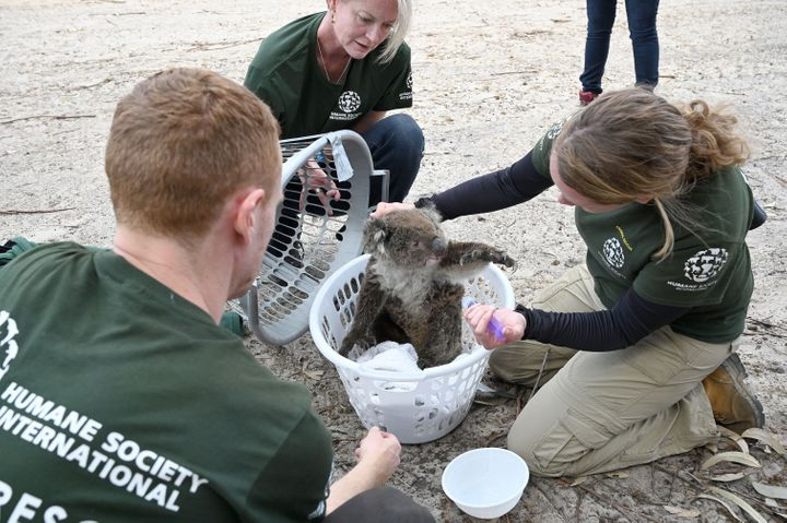 Kelly Donithan checks an injured koala rescued on Kangaroo Island.