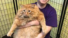Εξαιρετικά Χοντρή Γάτα Μπαζούκα Υφίσταται 'Dechonking