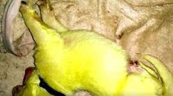 Un chien donne naissance à un chiot vert, sa maîtresse l'appelle