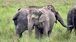 Jharkhand Puts Off Building Airport To Save Vital Elephant