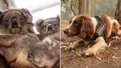 Questo cane che salva i Koala dagli incendi in Australia è la cosa migliore che vedrete oggi