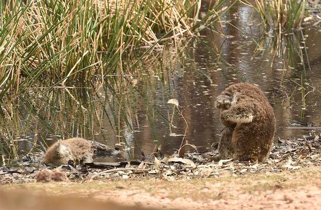 仲間の死を悲しむかのようなコアラ。1枚の写真が伝える、オーストラリア森林火災の深刻さ