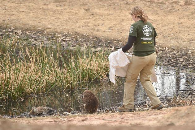 コアラを保護するため、タオルを持って近づいていくHSI危機対応チームのスペシャリスト、ケリー・ドナサン氏