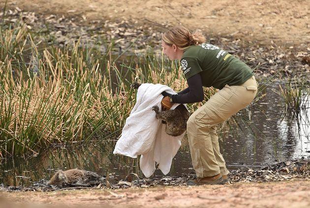怪我をしたコアラをタオルで包み、無事保護