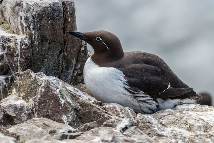 A common murre on a cliff ledge nest in the Farne Islands of Northumberland, England.