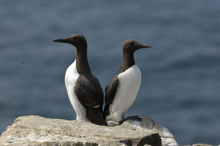 Two common murres.