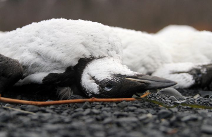 Dead common murres lie washed up on a rocky beach in Whittier, Alaska, on Jan. 8, 2016.