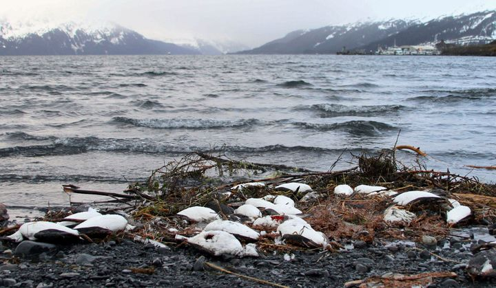 Dead common murres lie washed ashore in Whittier, Alaska, in 2016.