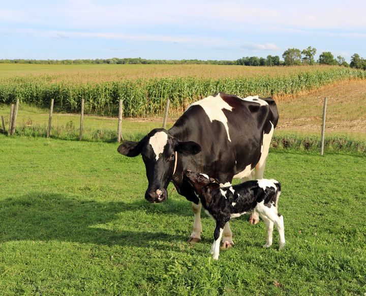 A mother Holstein and her calf.