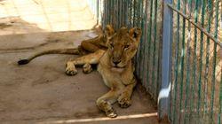 Αποστεωμένα λιοντάρια στον χειρότερο ζωολογικό κήπο του