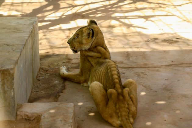 A malnourished lioness sits in her cage at the Al-Qureshi park in the Sudanese capital Khartoum on January...