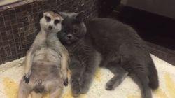 6년째 베프로 지내는 고양이와 미어캣이 사람들의 마음을 훔치고 있다