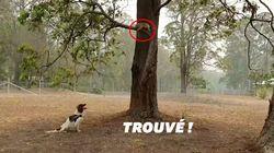 Ce chien est un sauveteur de koalas dans les incendies