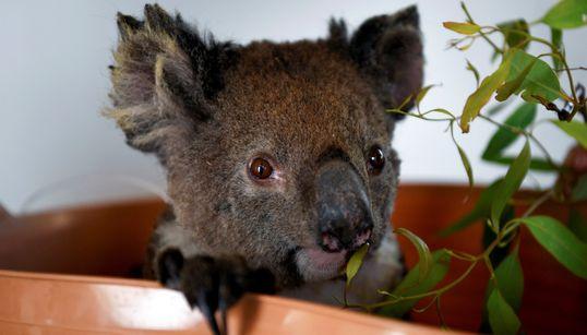 치료받고 회복 중인 호주 코알라를 현실적으로 포착한 사진