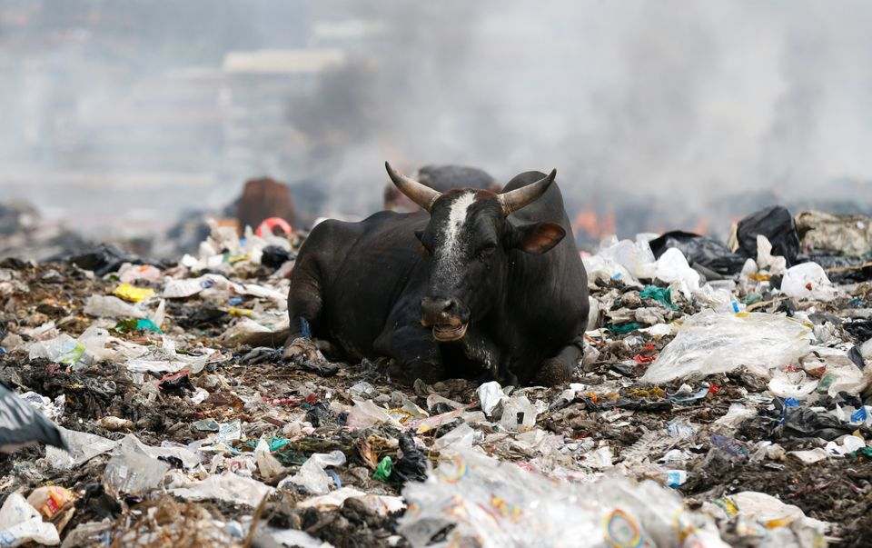 A cow rests on plastic materials at the Dandora dumping site on the outskirts of Nairobi,