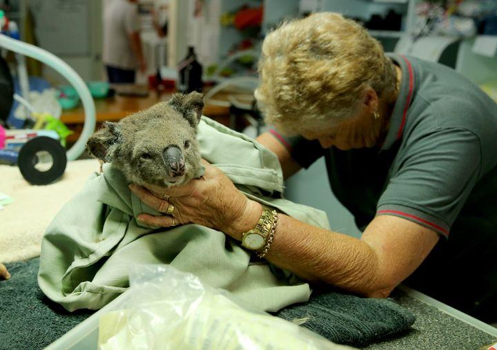 A koala named Sharni from Crowdy Bay National Park is treated at The Port Macquarie Koala Hospital on November 29, 2019 in Port Macquarie, Australia. V
