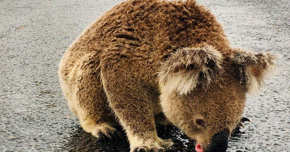 Koala Hospital Devastated After Scumbag Steals Koala Water Drinking Station In Bushfire Ravaged Australia Huffpost Australia