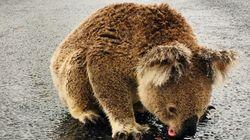 Koala Hospital Devastated After 'Scumbag' Steals Water Drinking Station In Bushfire-Ravaged
