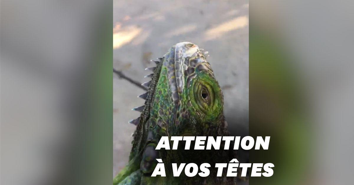 """Des iguanes """"tombés du ciel"""" à Miami à cause de la météo"""
