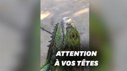 """La """"pluie d'iguanes"""" a bien eu lieu à"""