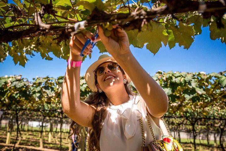 Roteiro pela Vinícola Goés inclui colher uvas na época da vindima.