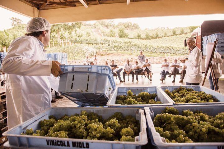 Vinícola Miolo oferece um dos roteiros mais tradicionais do Vale dos Vinhedos.