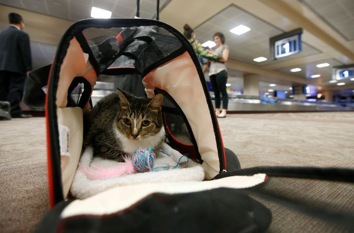 Oscar the cat, who is not a service animal, sits in his carry-on travel bag after arriving at Phoenix Sky Harbor International Airport in Phoenix.