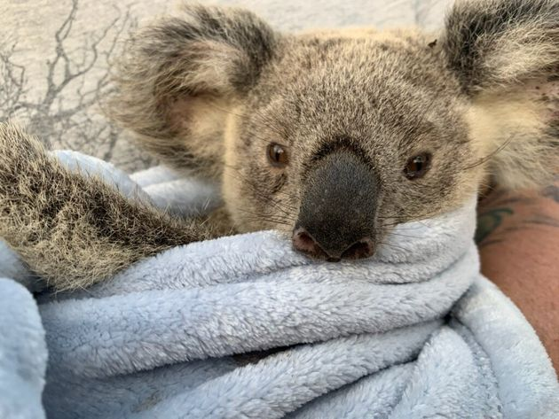 Maryanne the koala is one the road to recovery after suffering severe burns on her feet shortly before