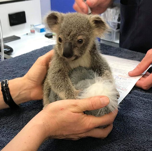 Kevin, a baby koala injured in the Pechey bushfire, is now in the care of the RSPCA Queensland Wildlife Hospital.