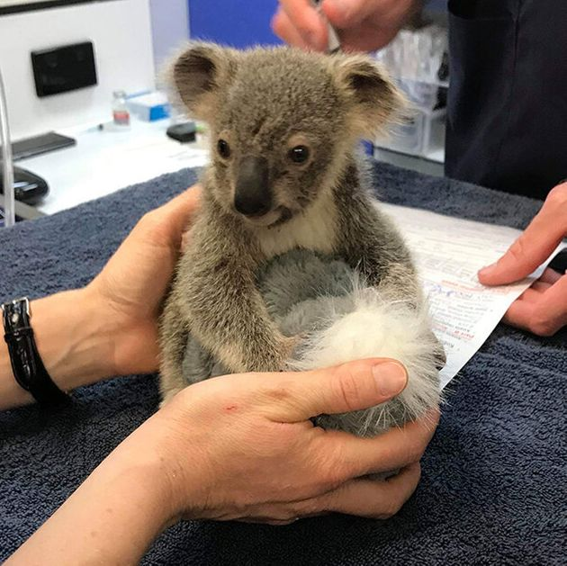 Kevin, a baby koala injured in the Pechey bushfire, is now in the care of the RSPCA Queensland Wildlife