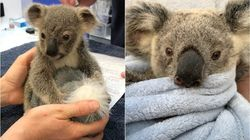 'From Heartbreak Comes Hope': Koala Rescuers Share Moving Recovery